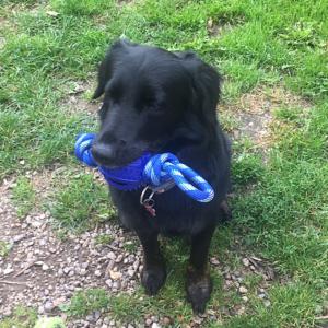 Hunde bidetov dobbelt løkke med gummibold